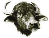 Water Buffaloe